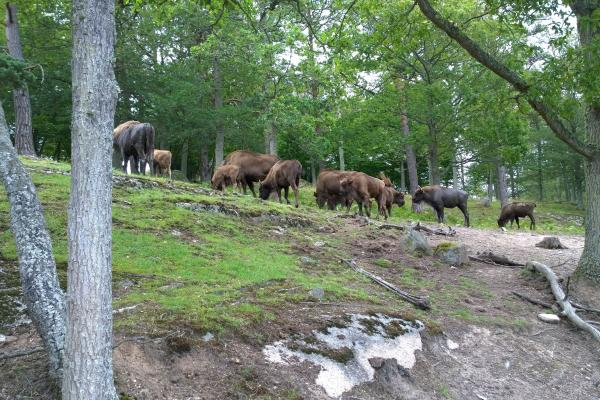 European bisons at Eriksberg