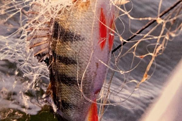 Perch in nets