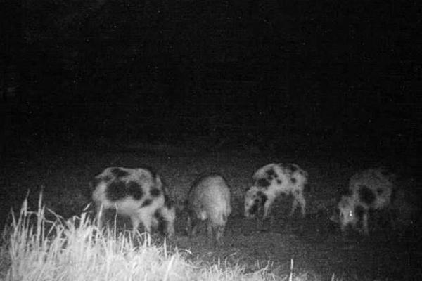 Grazing animals in the dark