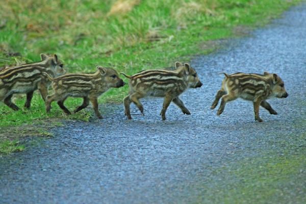 Young wild boars crossing a path
