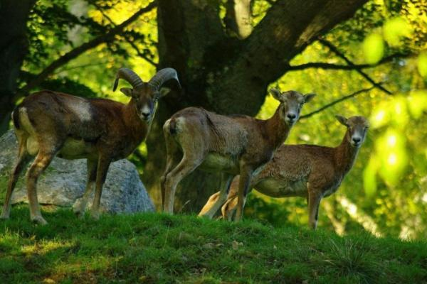 Mouflon in the forest