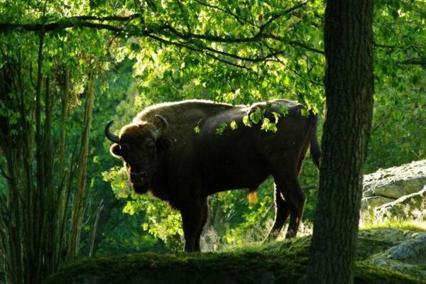 European bison in the forest