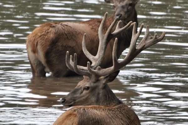 Red deers in the water
